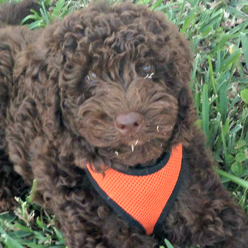 Chocolate Labradoodle