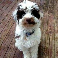 Tucker - Parti Australian Labradoodle