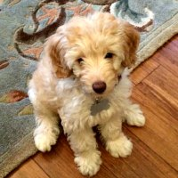 Biscuit - Apricot Australian Labradoodle