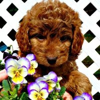 Red Labradoodles