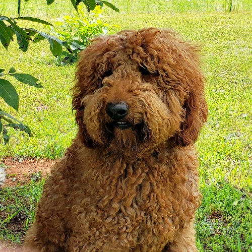 Boone - Miniature Labradoodle