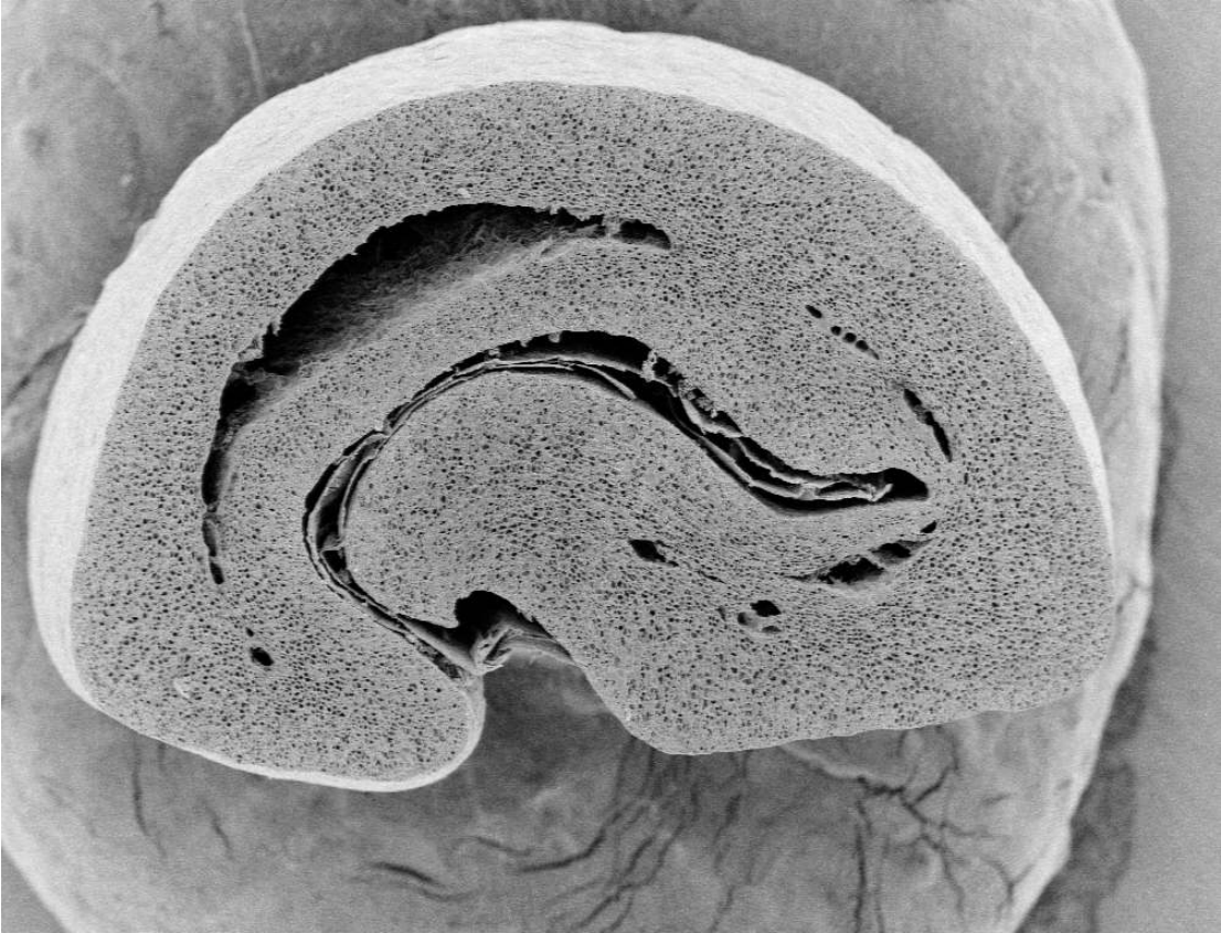 Microscopic cross section view of a coffee bean