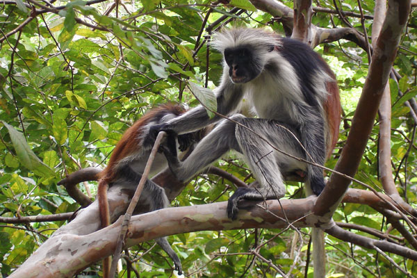 jozani forest red colobus
