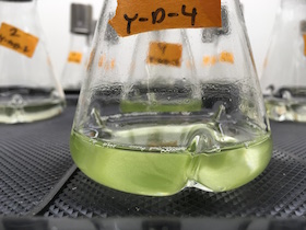 Yeast-algae co-culture