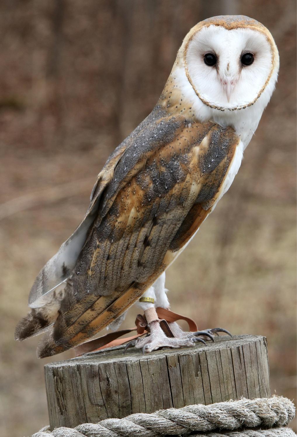 Barn Owl Aurora 1