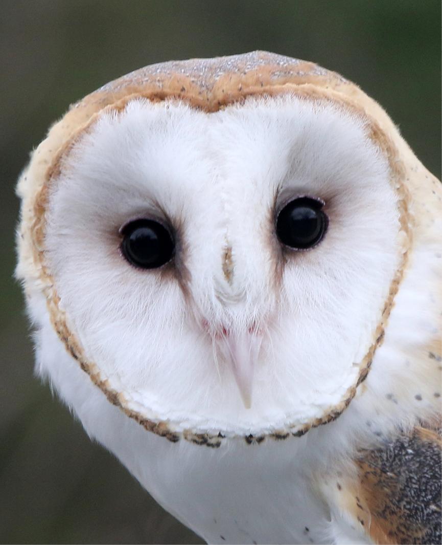 Barn Owl Aurora 3