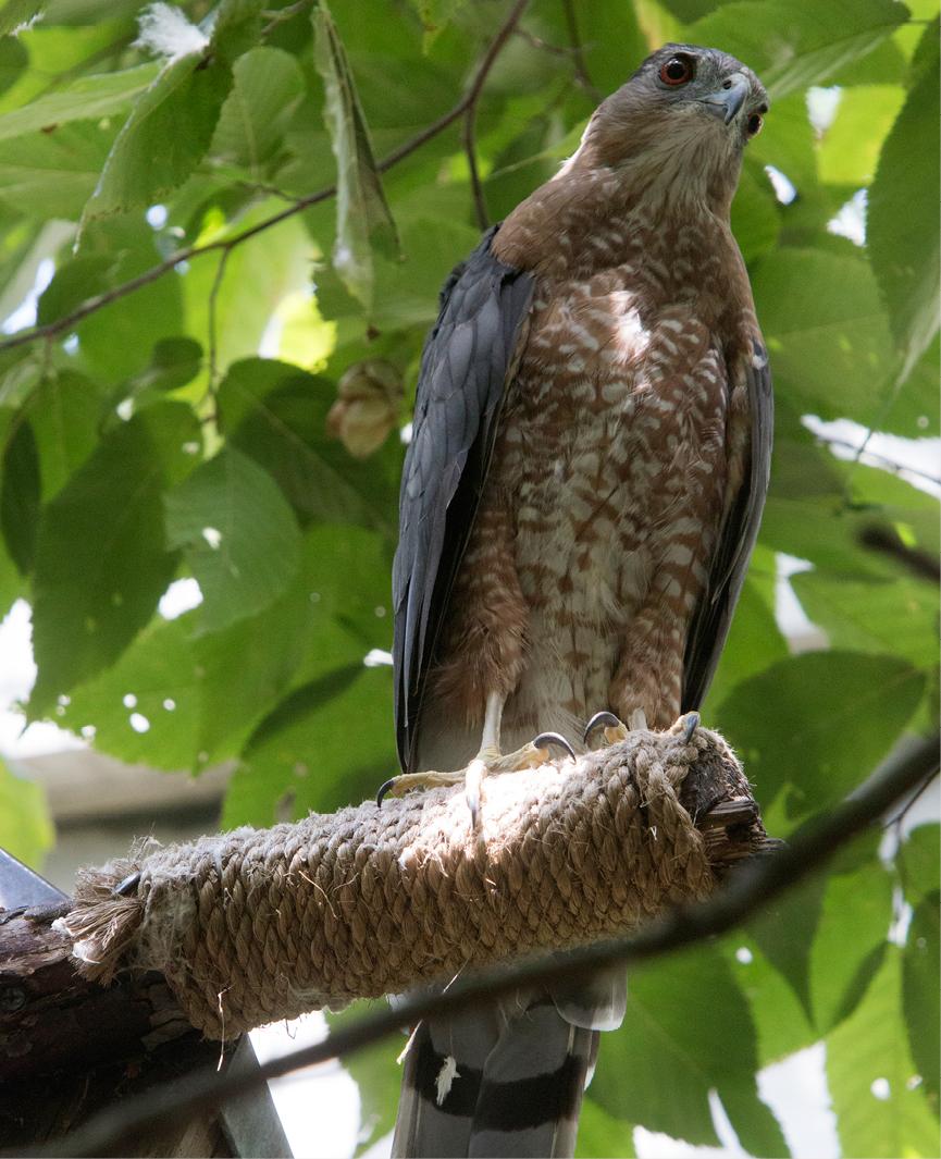 Cooper's Hawk Fallston 3
