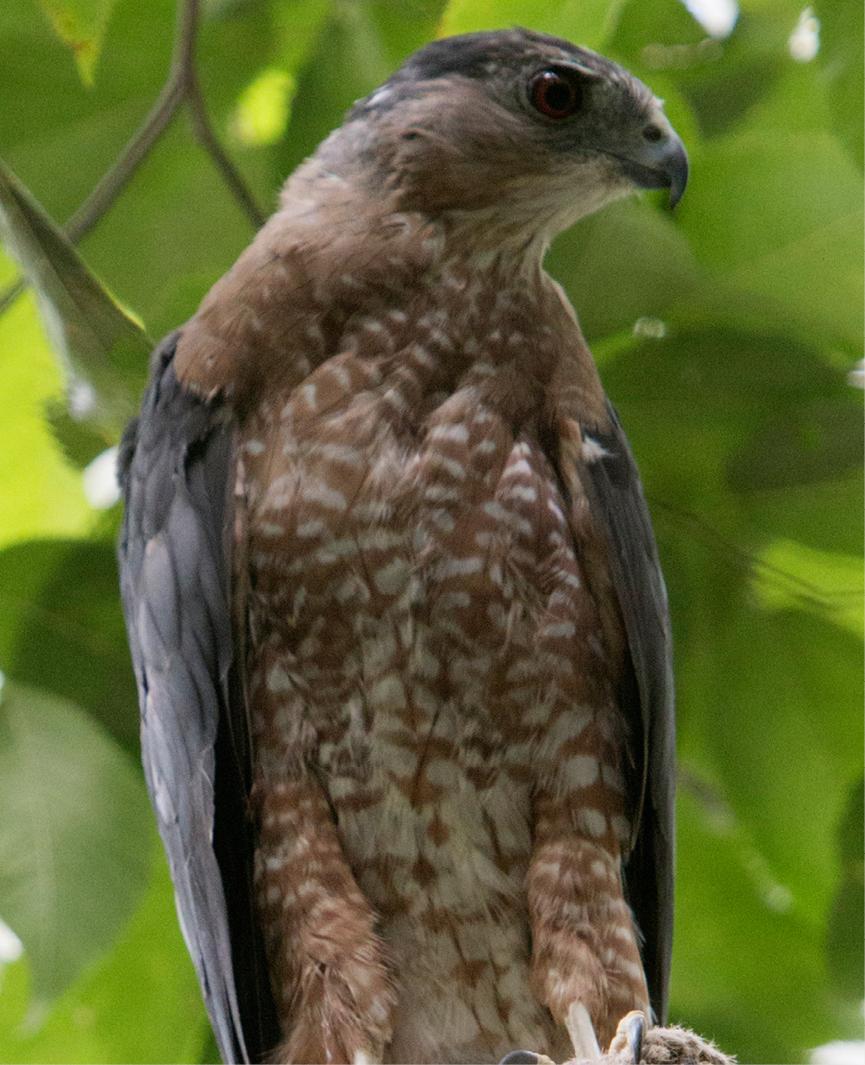 Cooper's Hawk Fallston 1