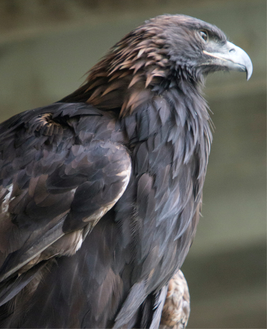 Golden Eagle Arizona 2