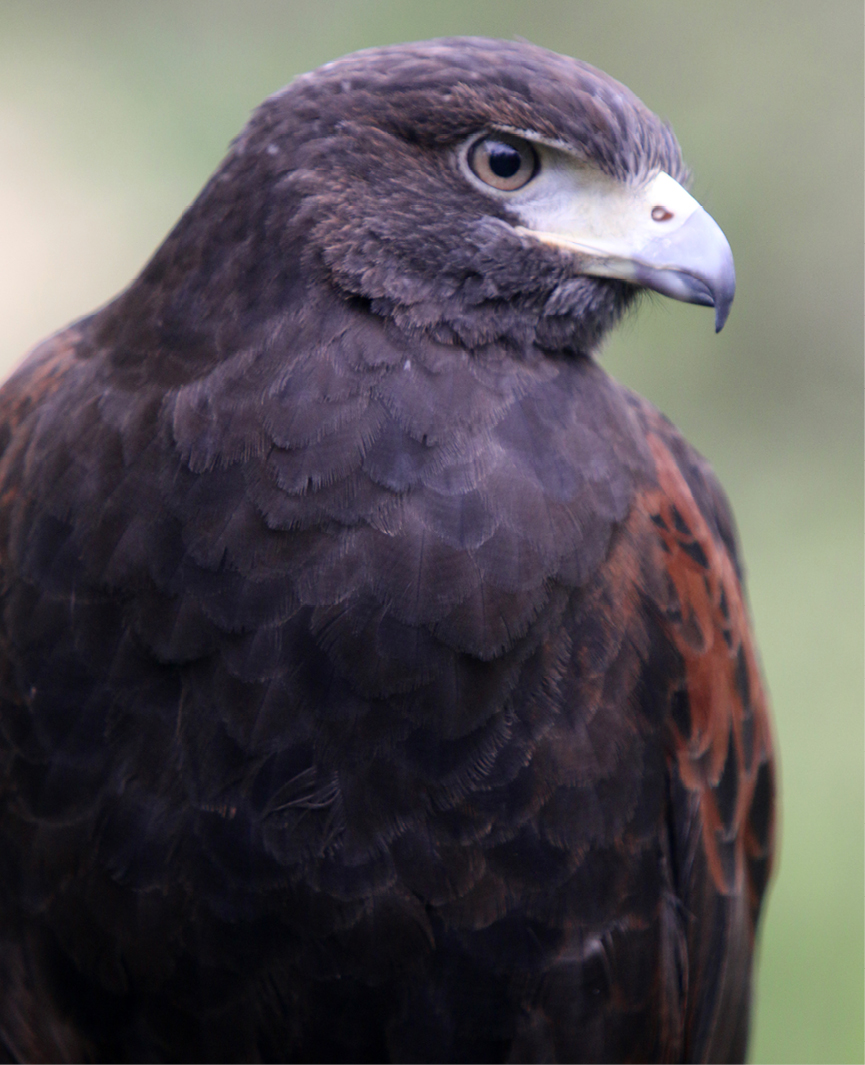 Harris's Hawk Chesterland 2