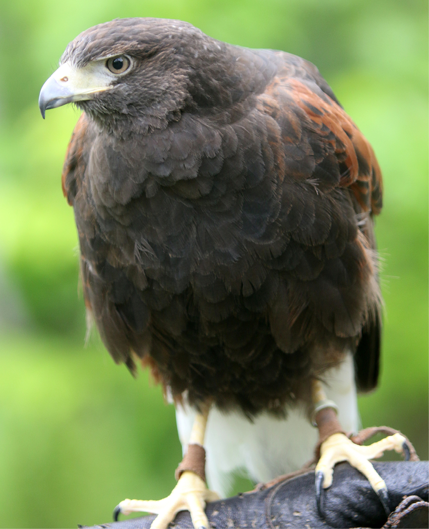 Harris's Hawk Chesterland 3