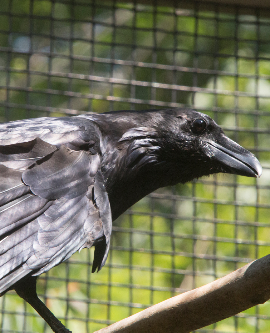 Common Raven Middlebury 2