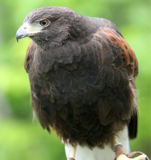 Harris's Hawk Chesterland