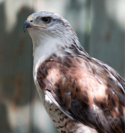 Ferruginous Hawk Wyoming