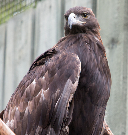 Golden Eagle Cody