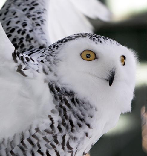 Snowy Owl Bedford