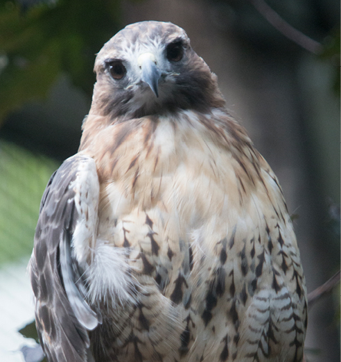 Red-tailed Hawk Neddick