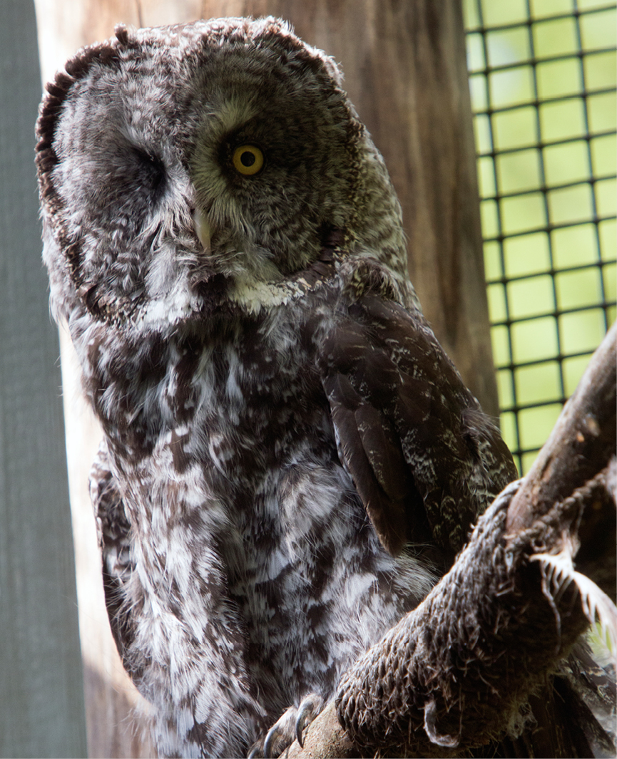 Great Gray Owl Louis 3