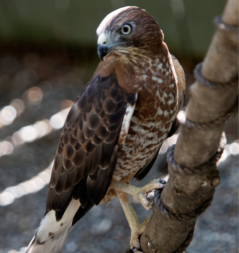 Broad-winged Hawk Grafton