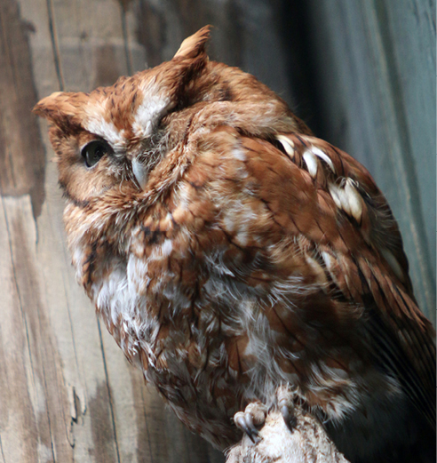 Eastern Screech Owl Virginia