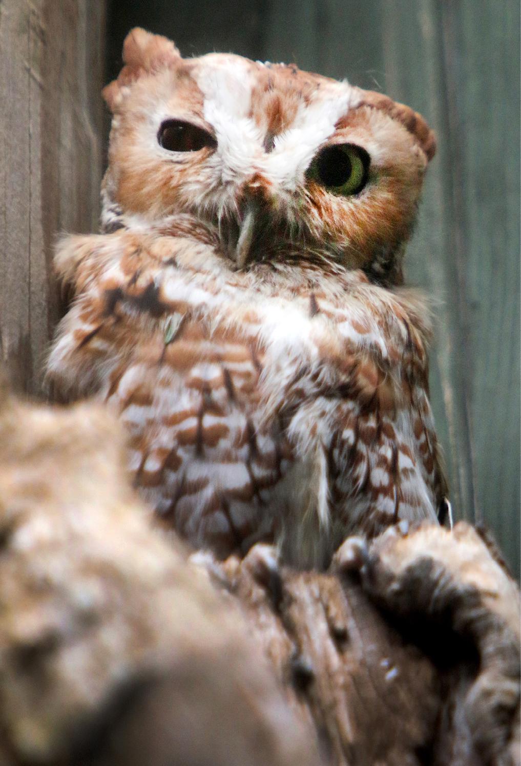 Eastern Screech Owl Kentucky 1