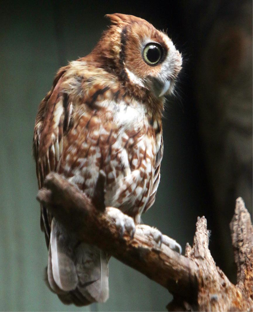 Eastern Screech Owl  Kentucky 2