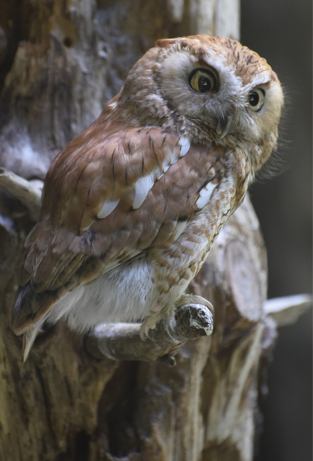 Eastern Screech Owl Kentucky 1