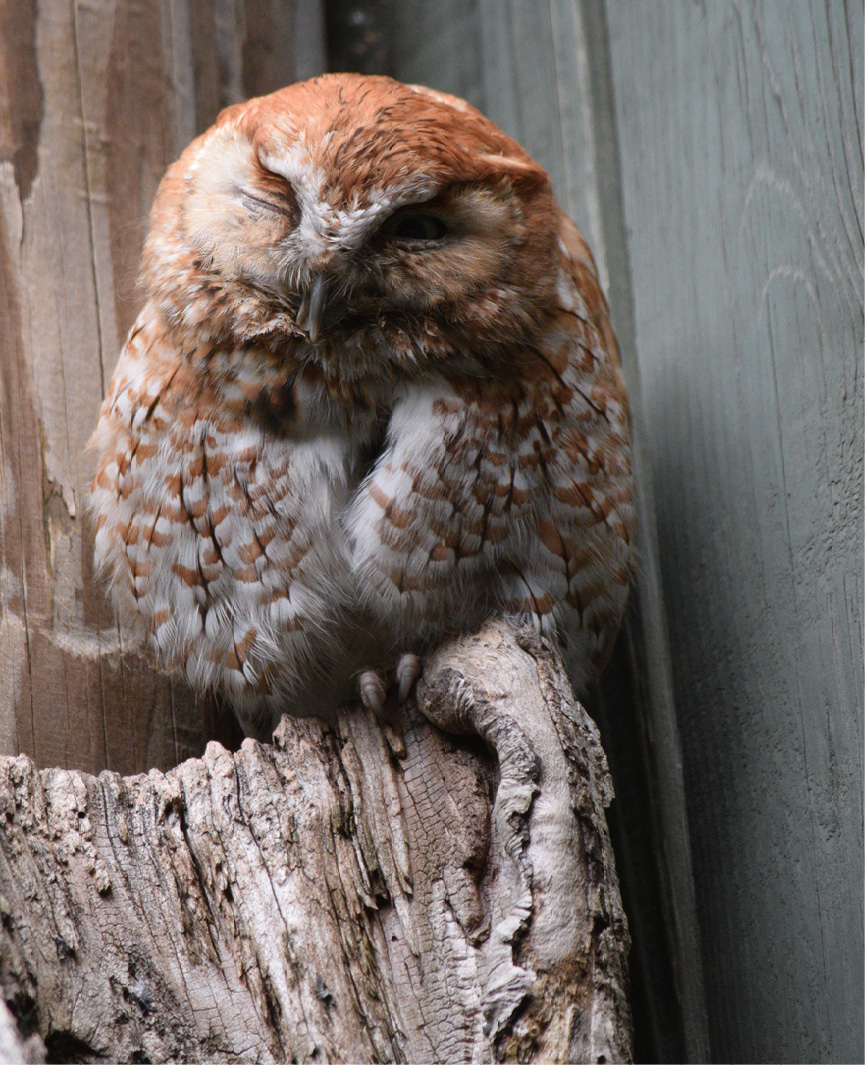 Eastern Screech Owl Kentucky  2
