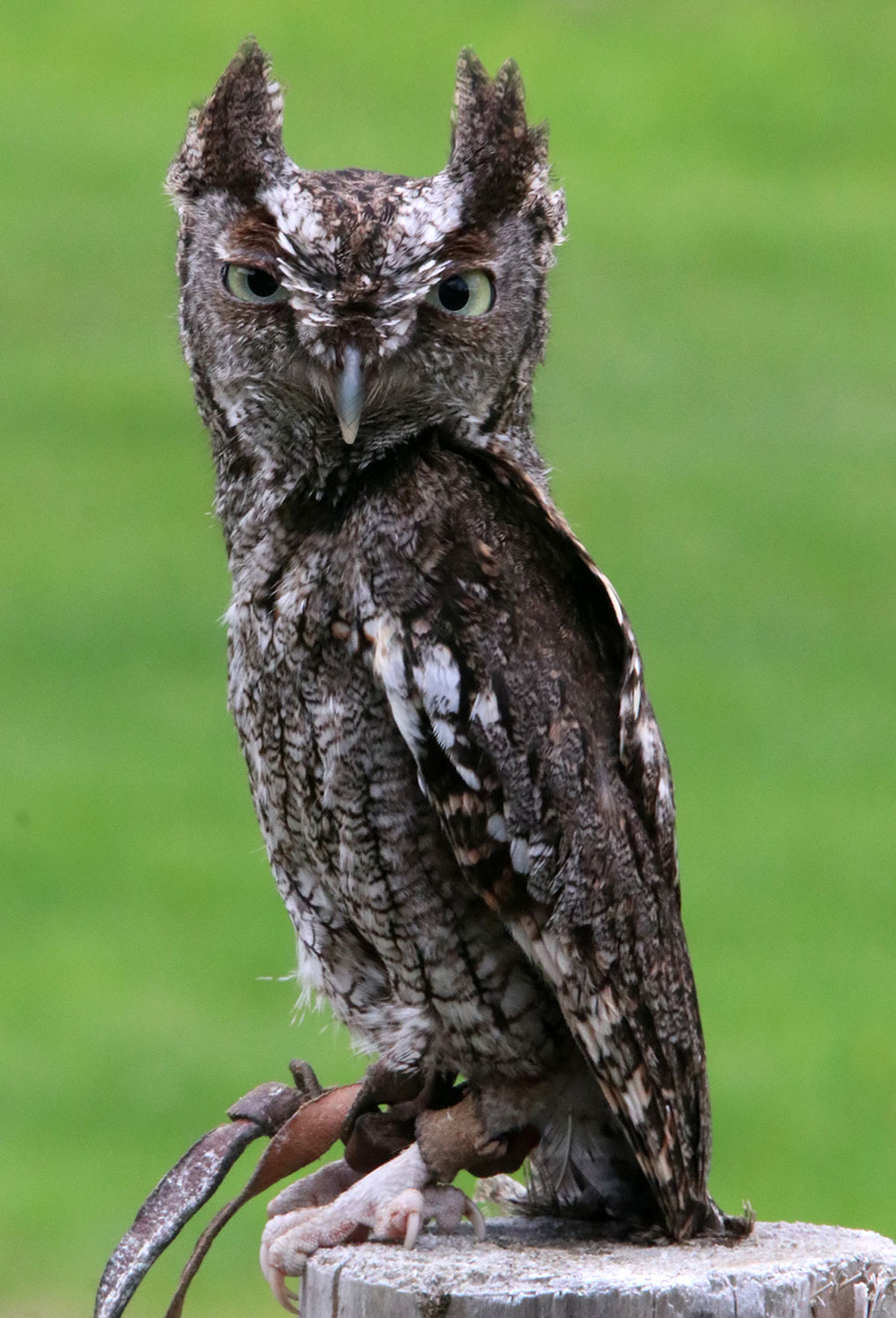Eastern Screech Owl Miami