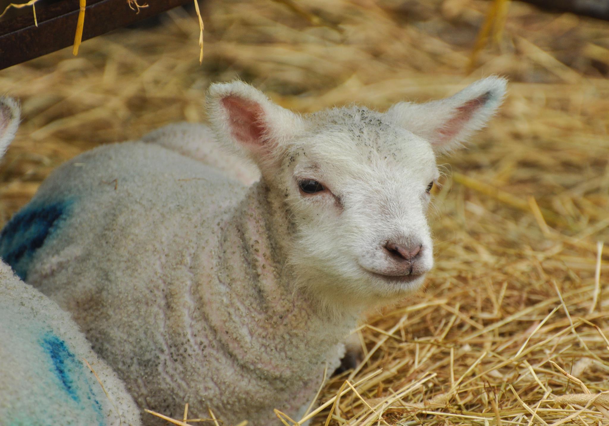 Lambs at Felbrigg