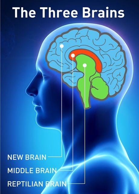 Graphic of brain diagram mapping the 3 areas of the brains, new brain, middle brain, and reptilian brain