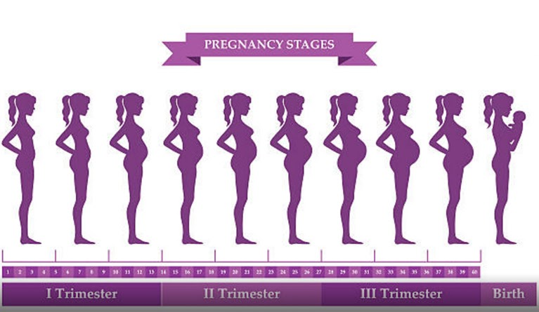 The stages of pregnancy broken down into trimesters.