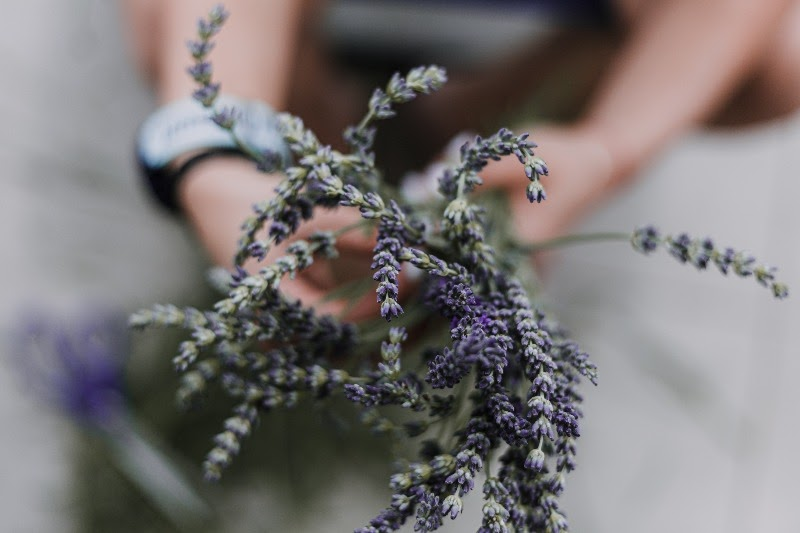 Hands holding lavender plants