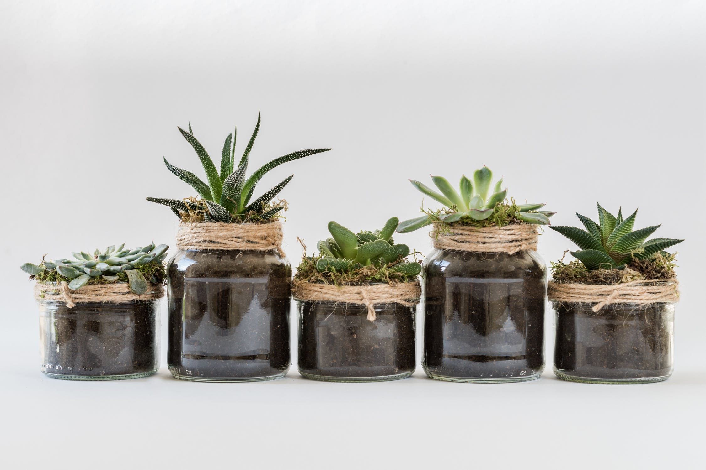 Five succulents lined up in a row.