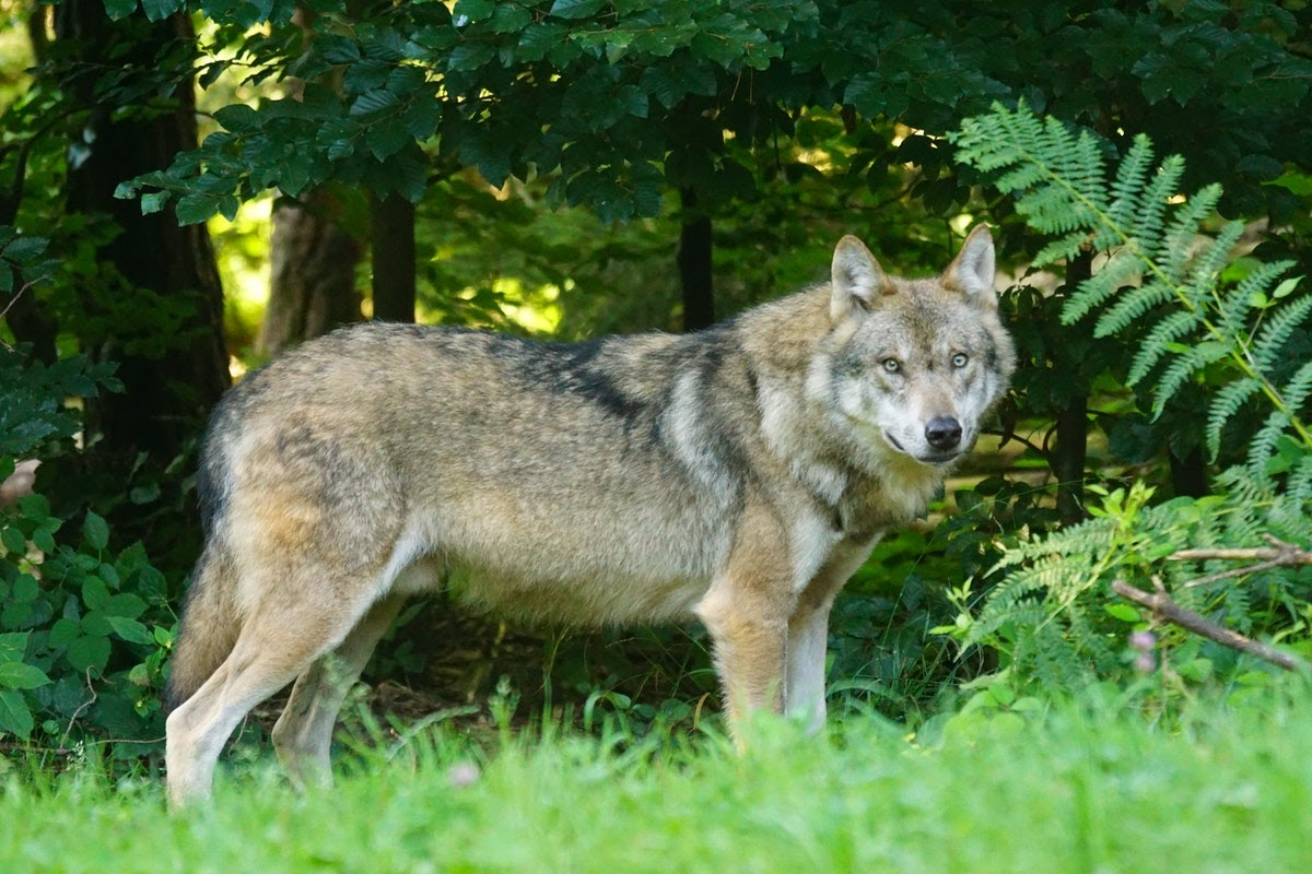 Wolf in front of trees.