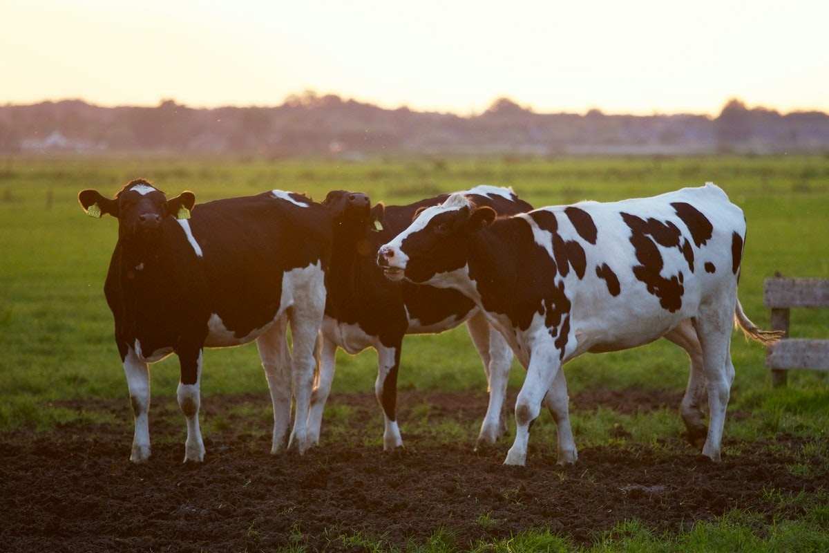 Two cows on a field.