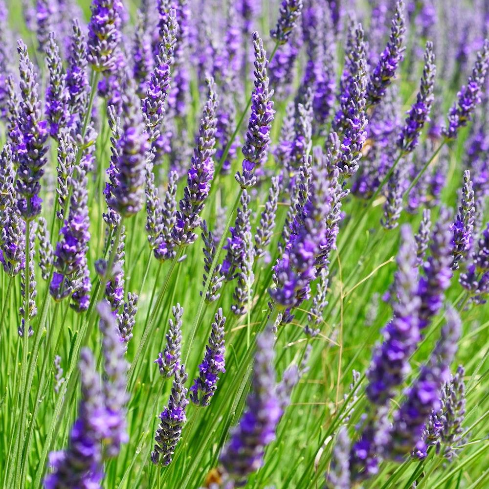 Lavender Extraction via Supercritical CO2