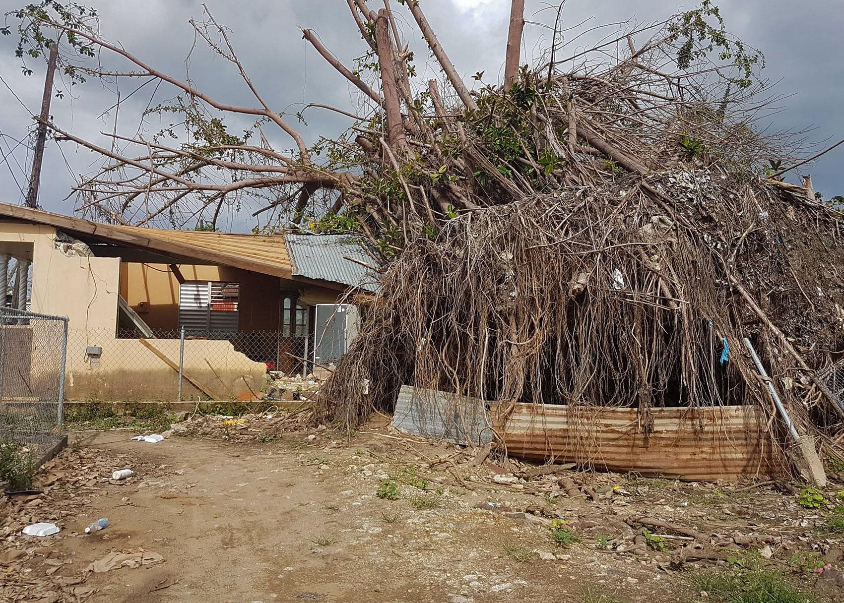 Enorme árbol en el suelo tras el paso del Huracán María por Puerto Rico.