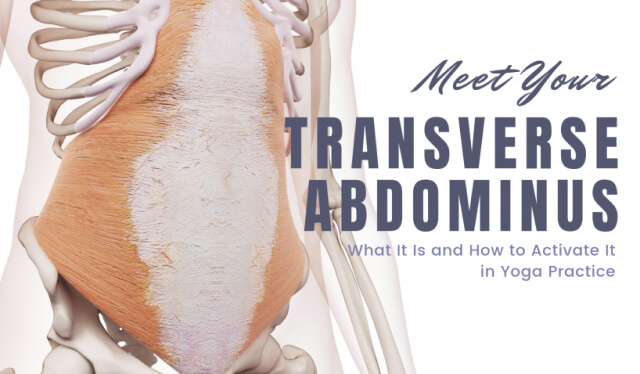 Anatomical drawing of the transverse abdominis, which is a deep core muscle