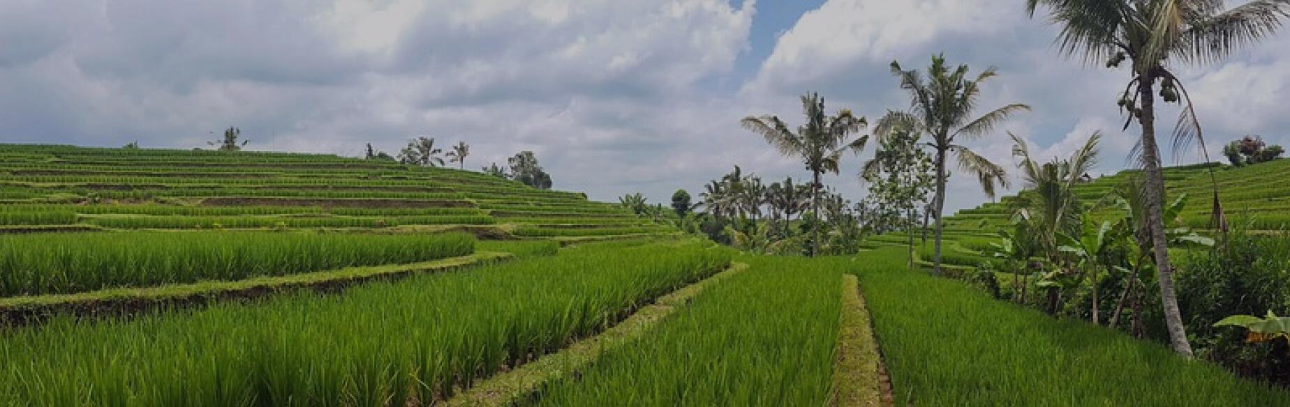 Green rice fields in Canggu, Bali, Indonesia