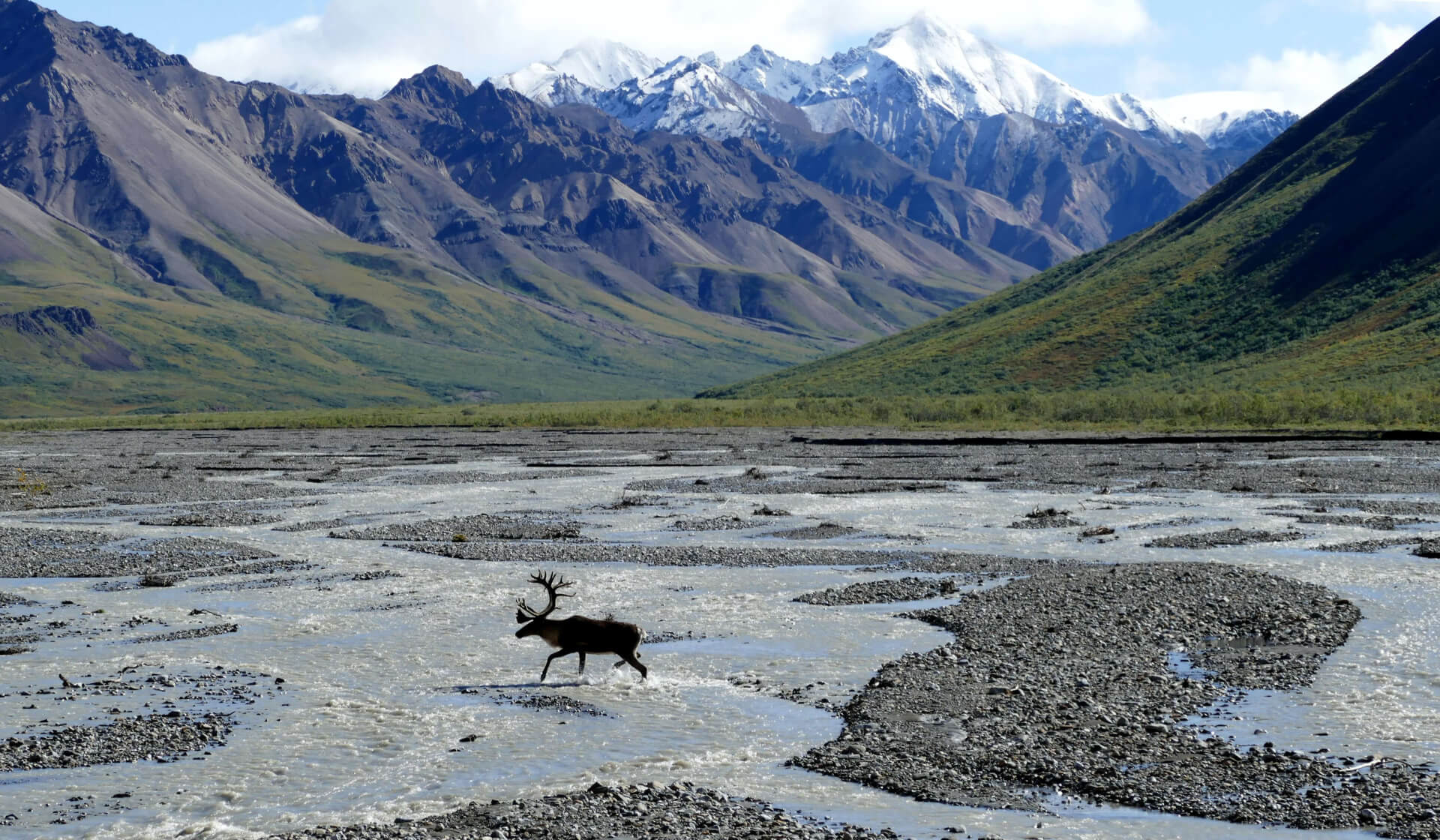 Moose crossing a river in a green valley surrounded by glacier-topped mountains in Alaska