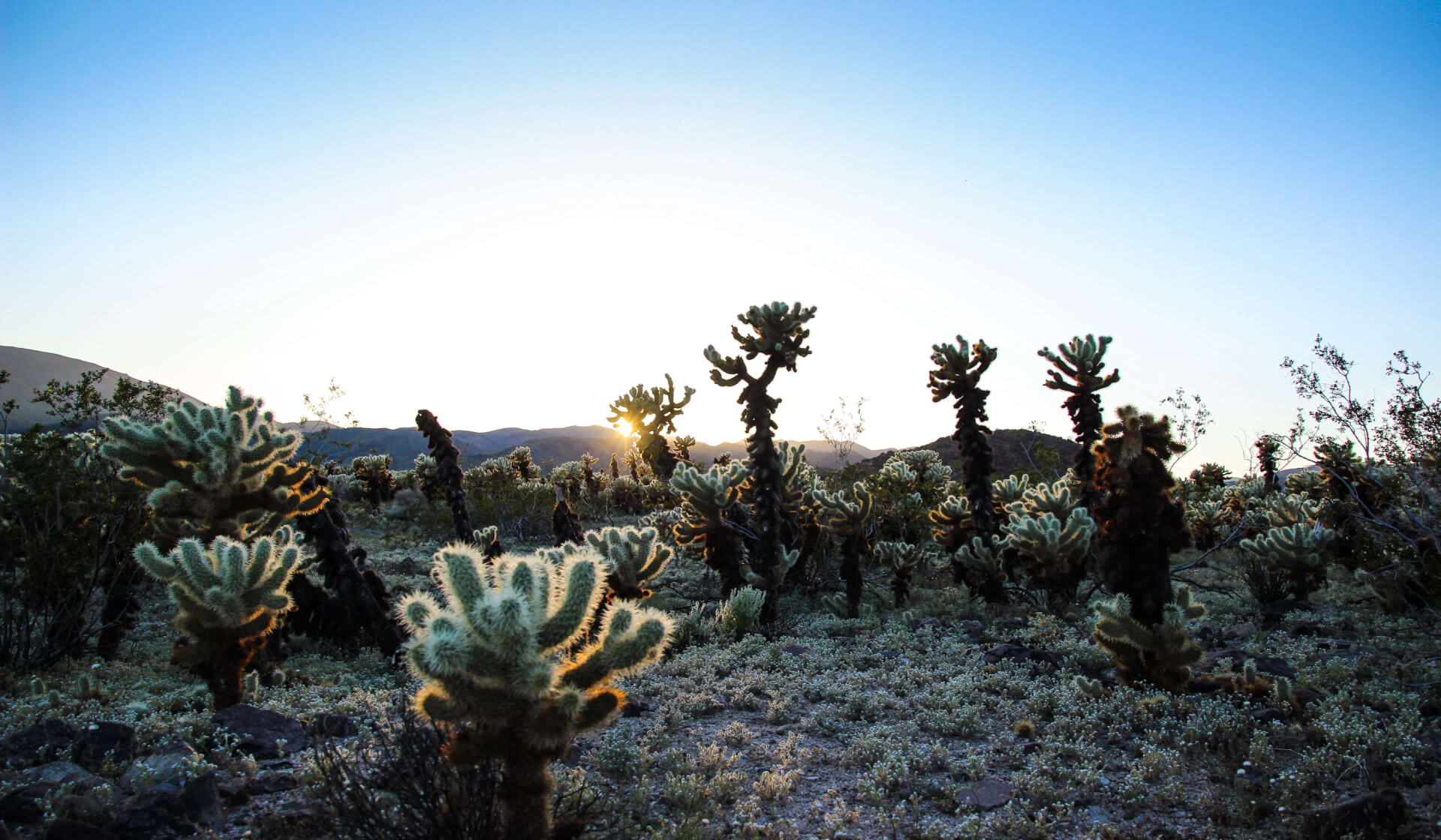 Joshua trees in a desert as the sun rises in Joshua Tree National Park, California
