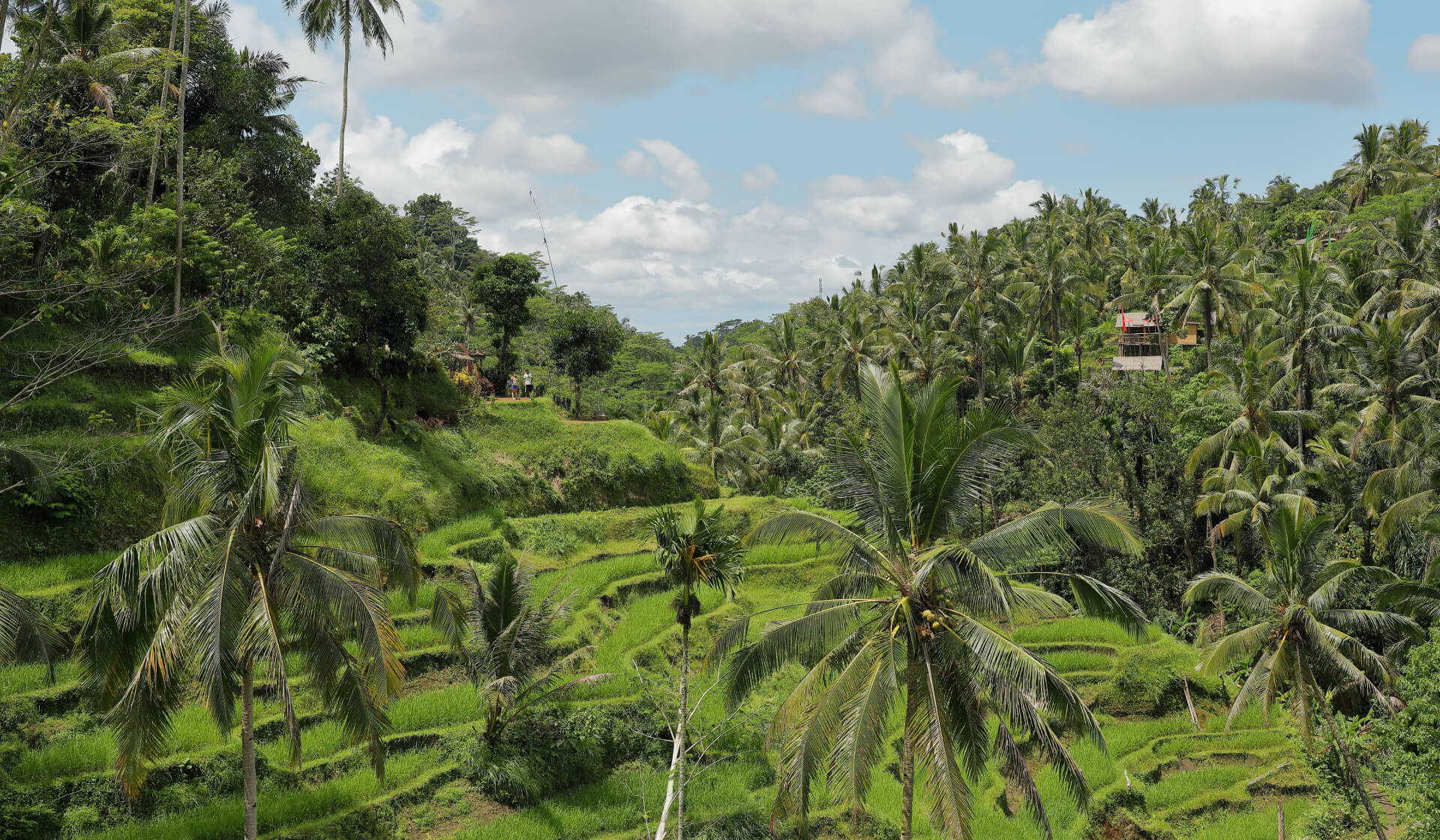 Lush green rice fields and palm trees in Bali, Indonesia
