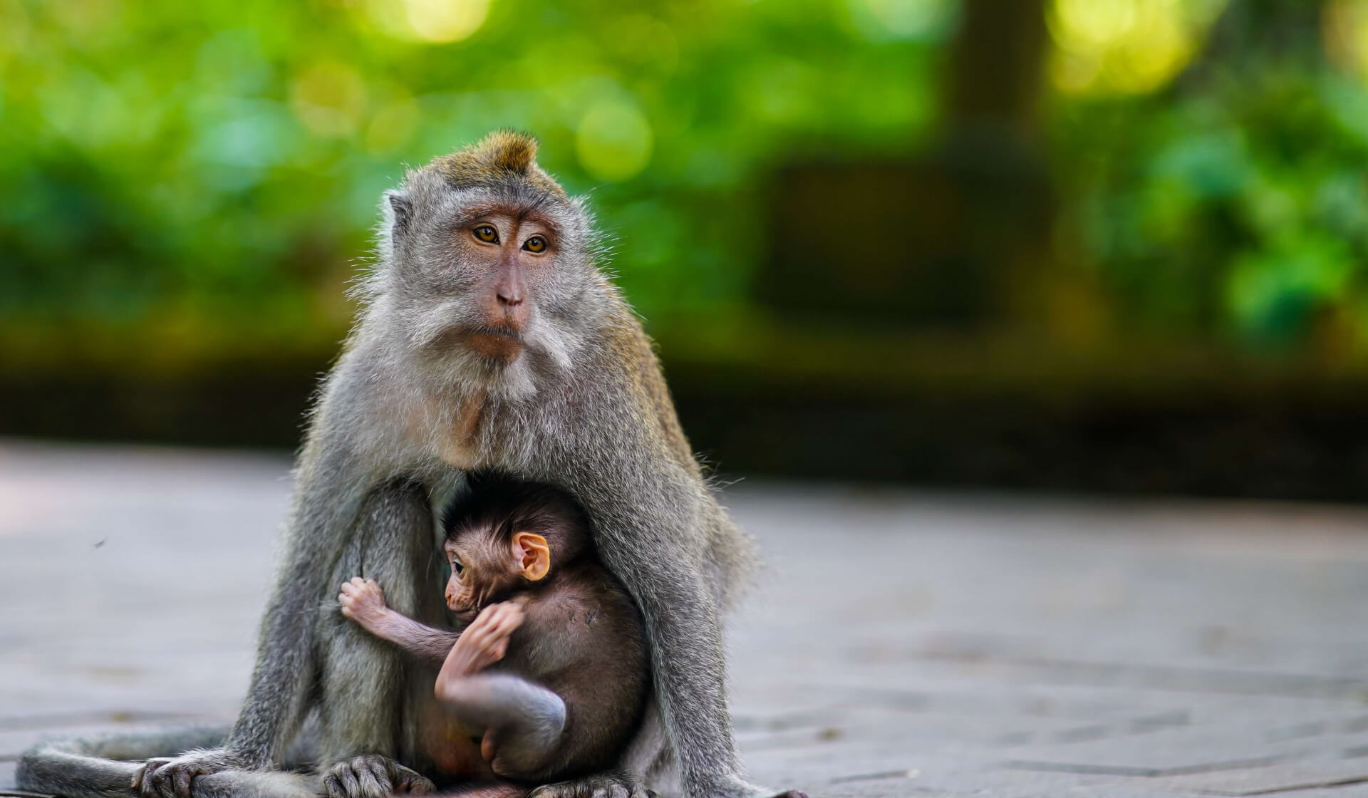 Mother monkey holding a little baby monkey in the Sacred Monkey Forest in Ubud, Bali