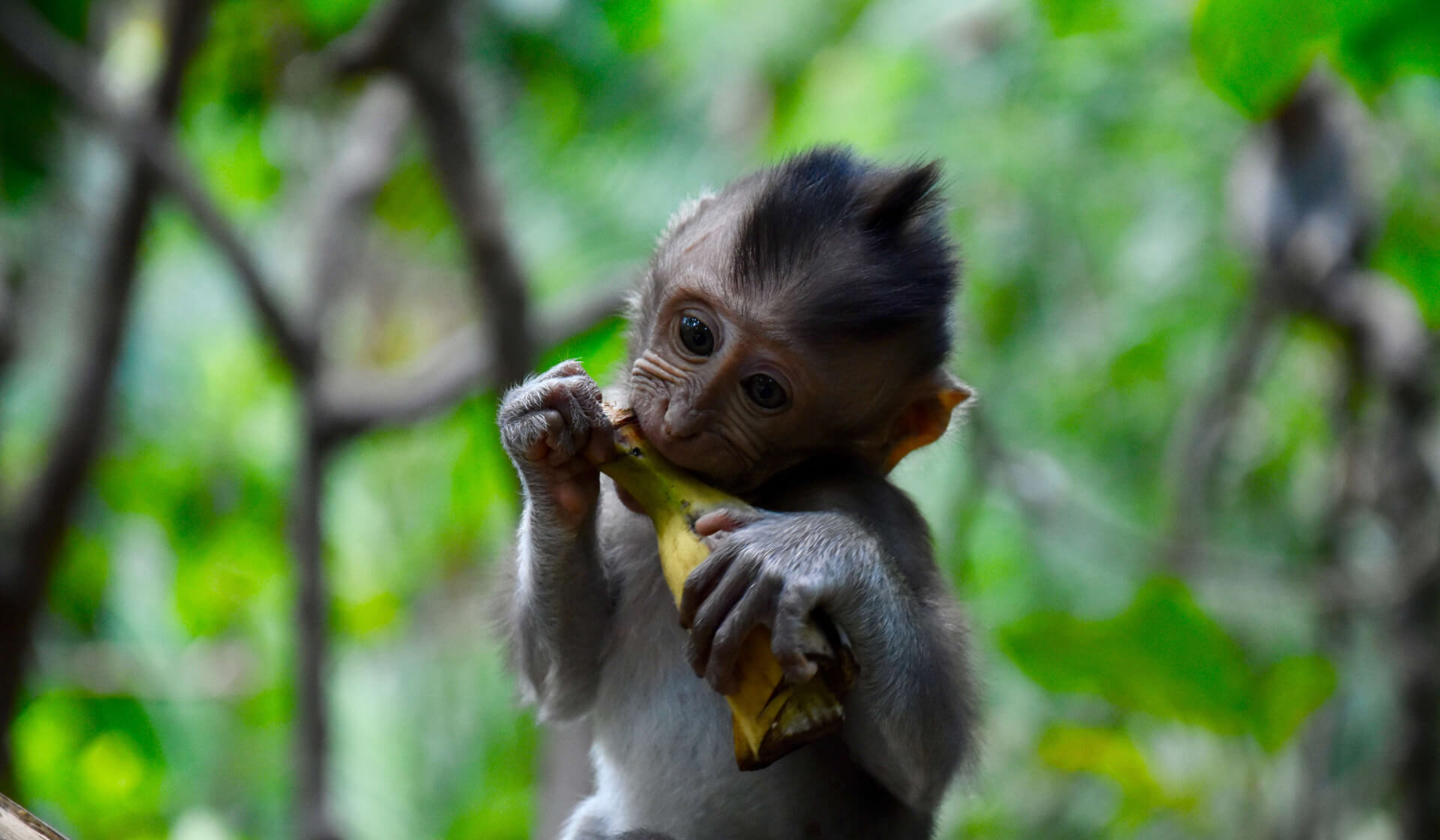 Baby monkey eating a banana