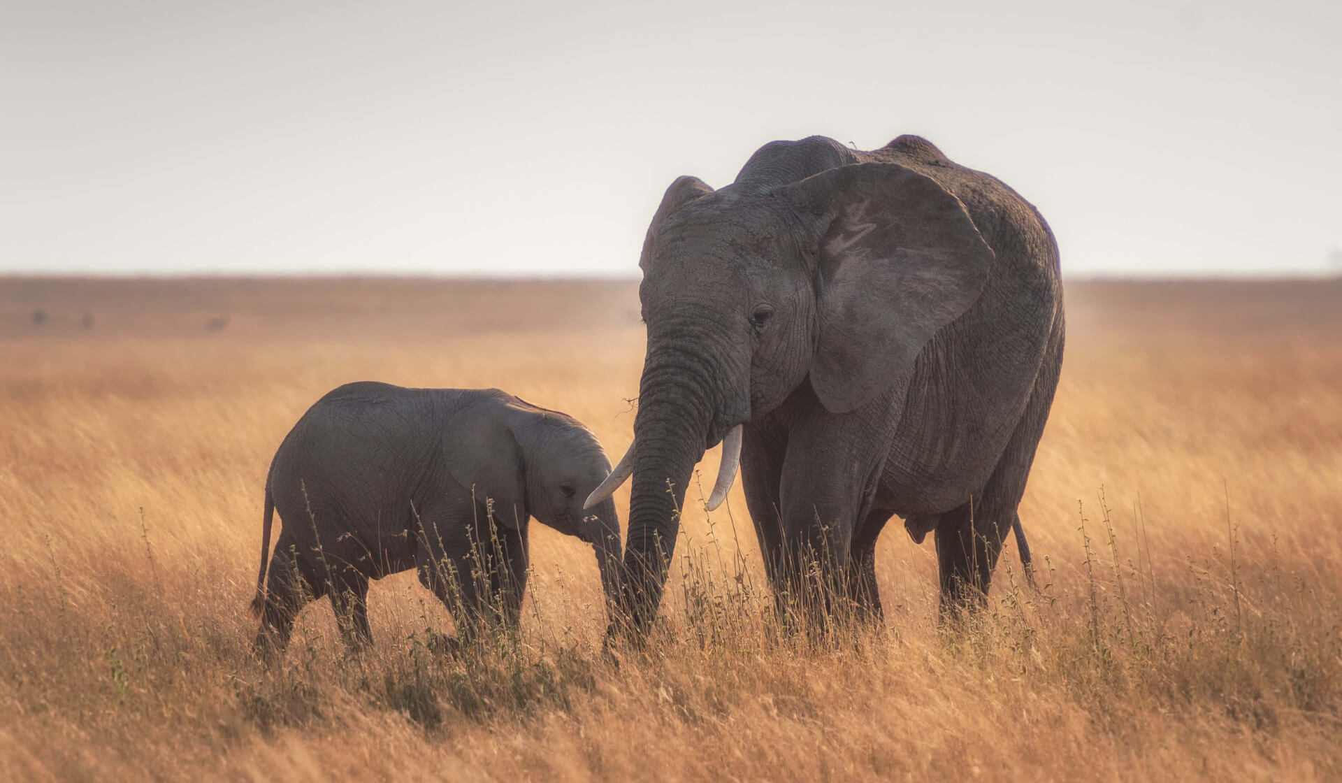 A mother and baby elephant in the grassland plains of Tanzania