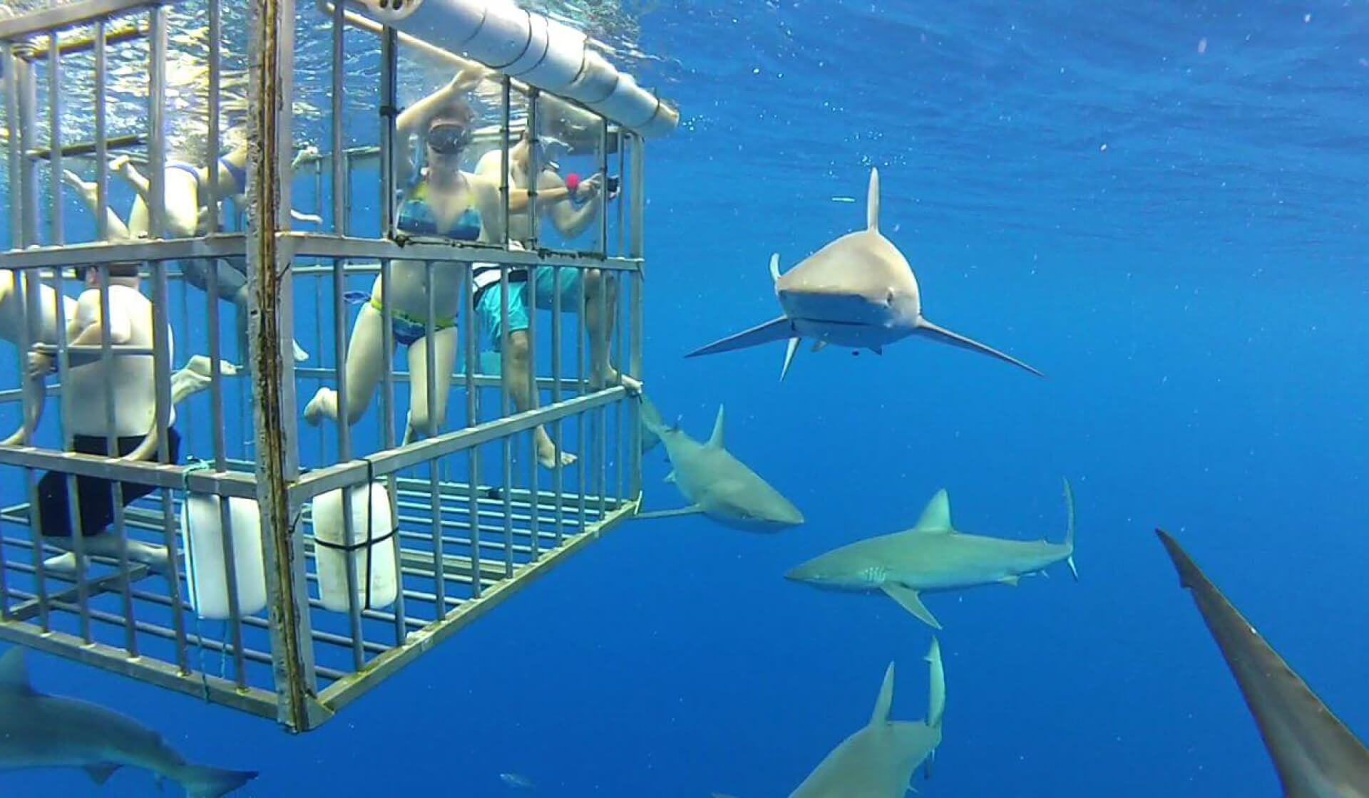 People inside a cage underwater surrounded by Great White sharks
