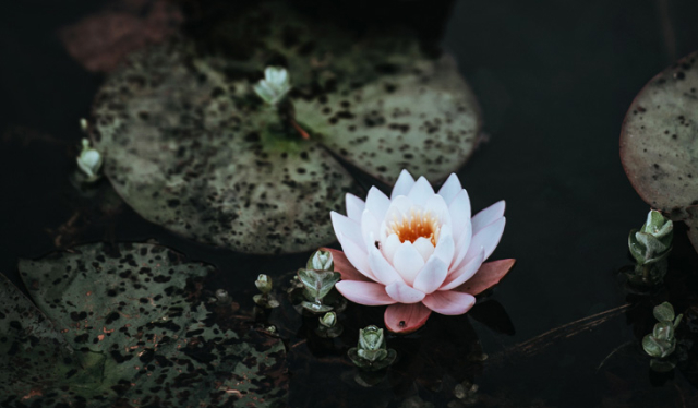 White and pink blooming lotus flower floating in a dark pond with lily pads