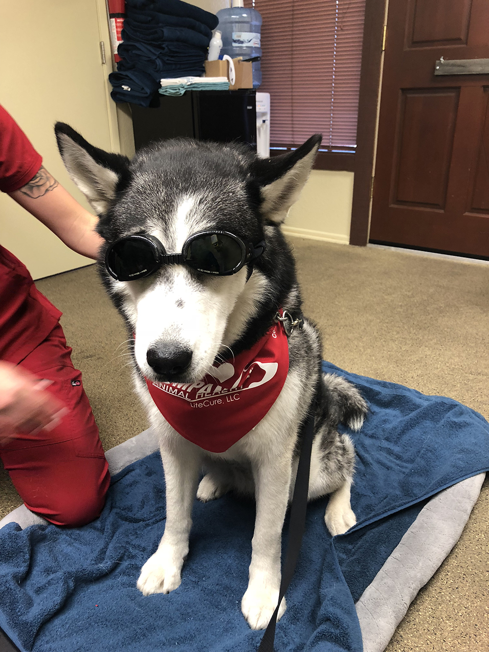 Doggles protect eyes during cold laser treatment
