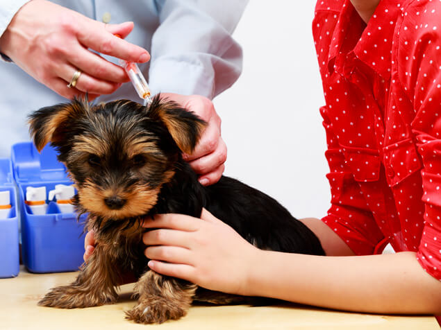 Puppy getting vaccinated. The puppy vaccination schedule may seem excessive, but there are good reasons.